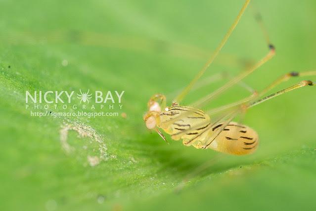 Spitting Spider (Scytodidae) - DSC_5115