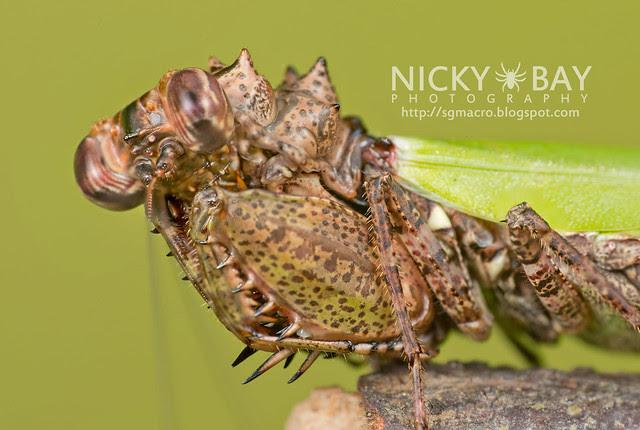 Pachymantis bicingulata - DSC_0625