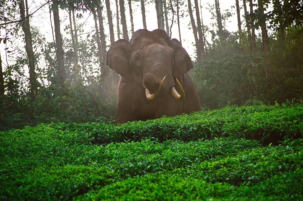 Wild Elephants India