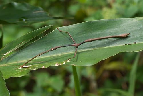 stick insect on a leaf DSC_9038 copy (2)
