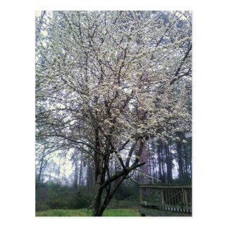 White Flowering Plum Tree Postcard