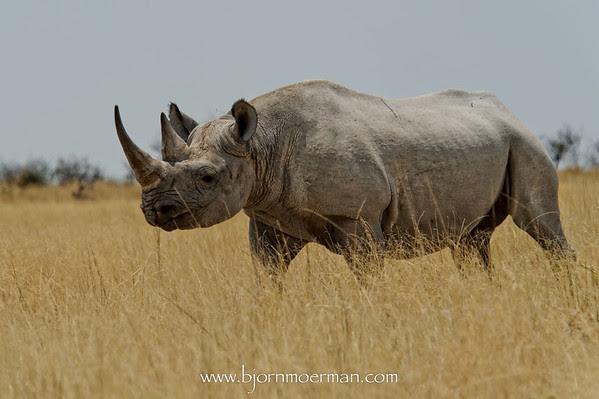 Crossing Rhino near Etosha-Badia