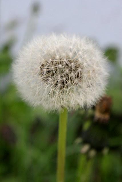 dandelion, hawthorne
