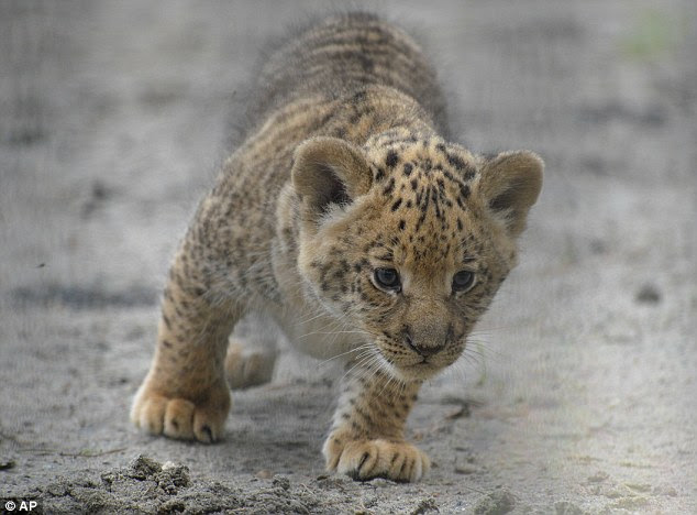 Fluffy: A liliger is a big cat breed where the father is a lion and the mother is a lion-tiger hybrid, known as a  liger