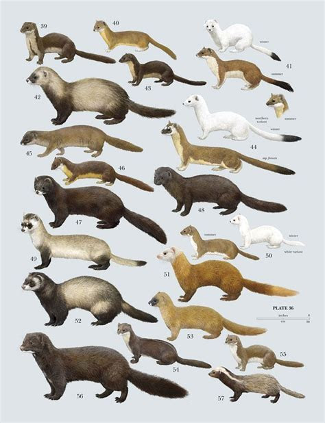 40 best images about ?..Mustelidae Family!..? on Pinterest   Animals, Mink and Wild animals
