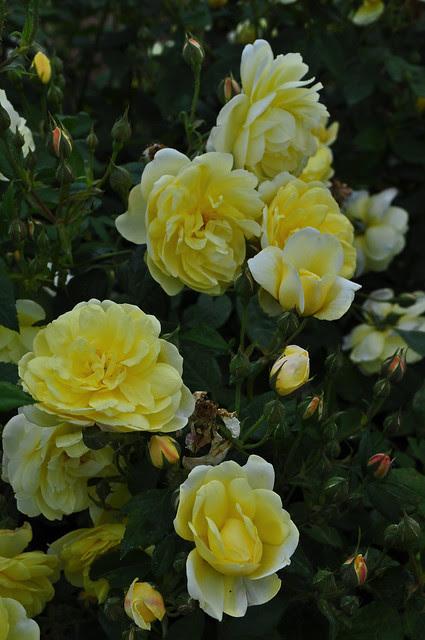 Rose Blythe Spirit