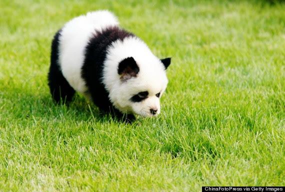 Kuvahaun tulos haulle puppy panda