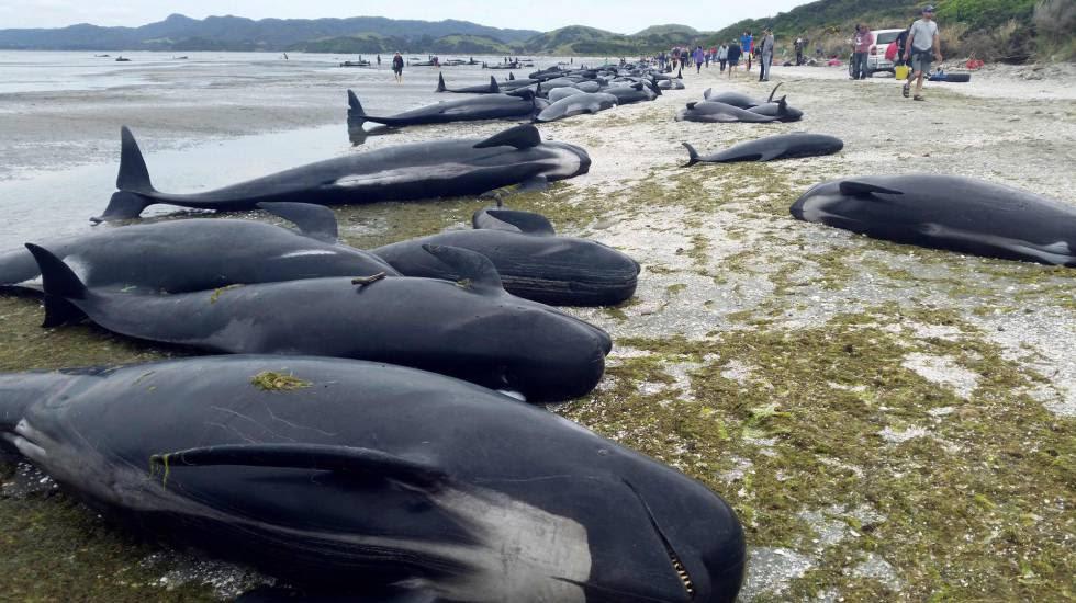 As baleias mortas na praia em Farewell Spit, na sexta-feira.