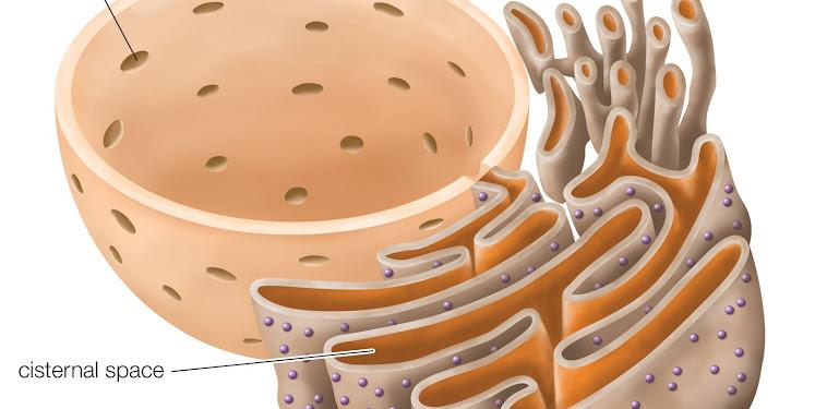 Rough Endoplasmic Reticulum Easy Definition