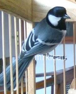 870+  Gambar Burung Gelatik HD Terbaru Gratis