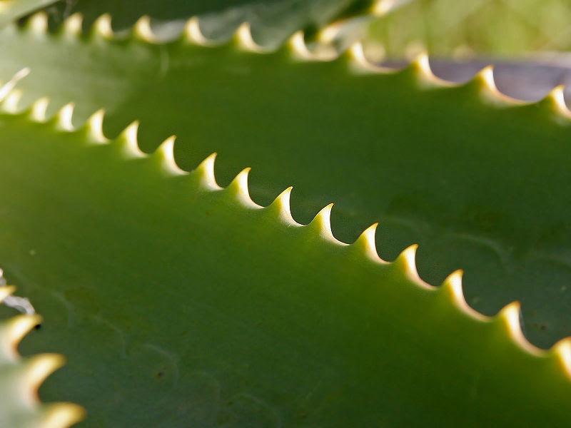 File:Aloe vera leaf.jpg