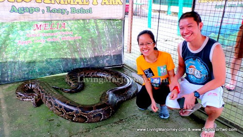 largest python Melia