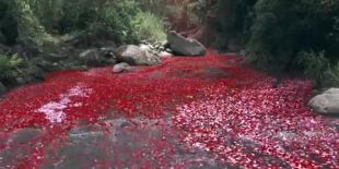 Pacayas de Cartago explotó con 8 millones de pétalos de flores