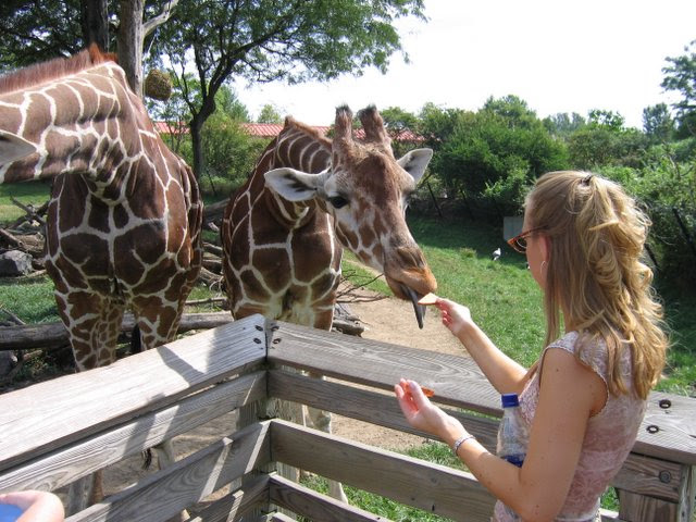 Giraffes @ the Indianapolis Zoo
