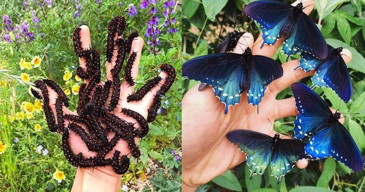 Pipevine Swallotail Butterflies-Tim Wong