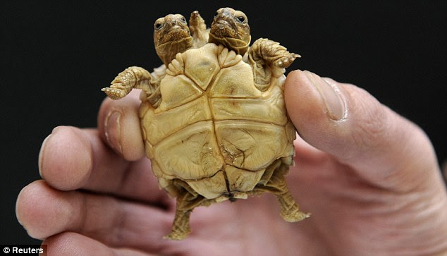 On the up: Though the tortoise is tiny now, the species will grow to become the third biggest in the world