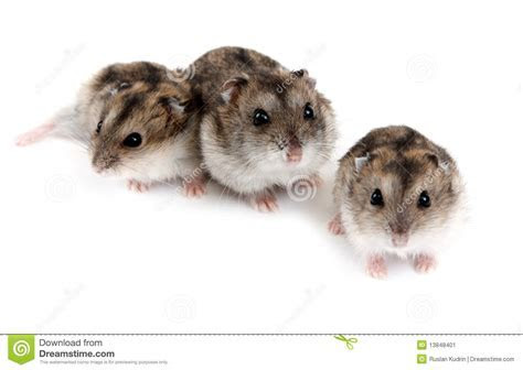 Three Hamsters Stock Image   Image: 13848401