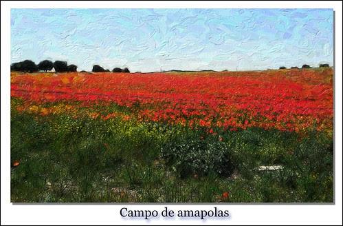 Campo de amapolas