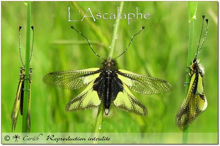 Ascal_01