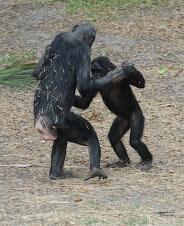 Jacksonville Zoo and Gardens Bonobos