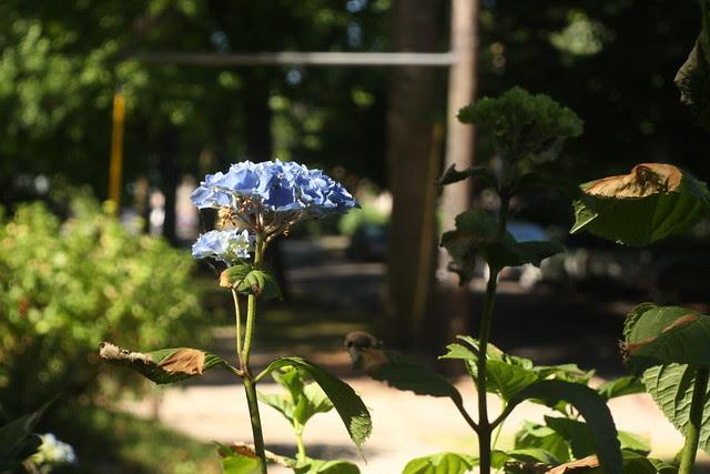 Hydrangea, Oregon Park