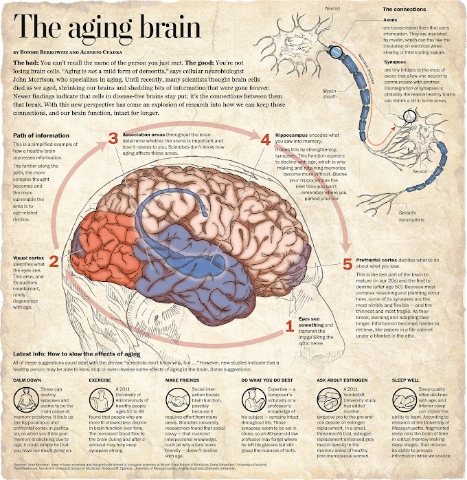 Infographic : The Againg Brain