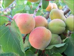 Blenheim apricots, a closer look