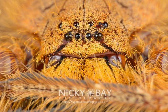 Huntsman Spider (Sparassidae) - DSC_2184