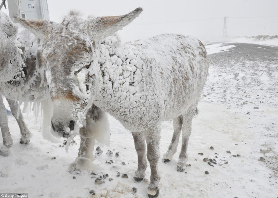 Beast of burden: Ice covered stray donkeys stand outside in cold weather in Karlik village of Karacadag region located in Siverek district of Turkey's Sanliurfa province in Southeastern Anatolia region