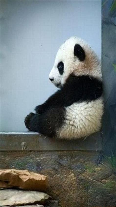 panda iphone wallpaper background iphone wallpaper