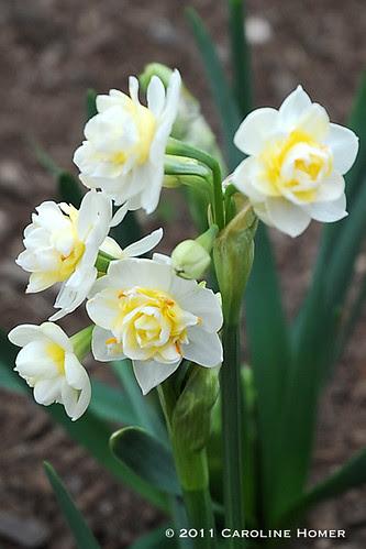 'Erlicheer' daffodil