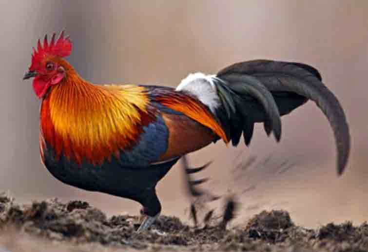 81 Gambar Binatang Ayam Jantan Terbaik
