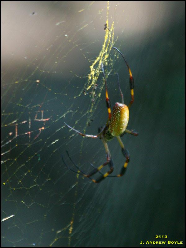 Golden-silk Spider