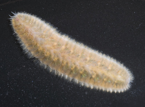 Scale worm (Family Polynoidae)