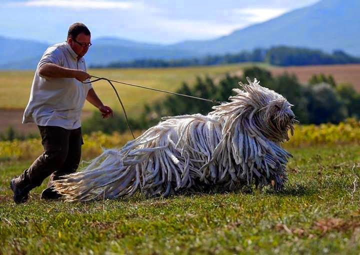 13. Dog Komondor size dog