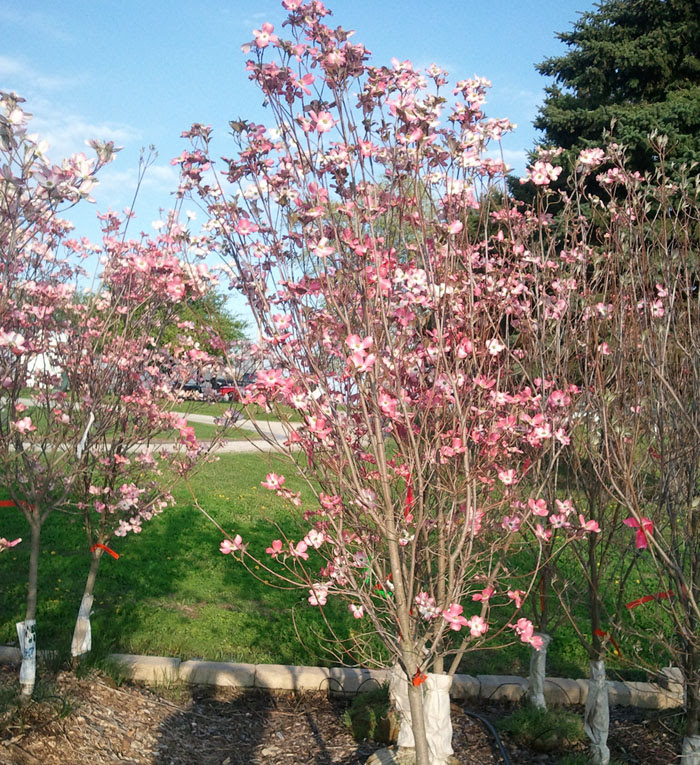 Flowering Dogwood Trees Indiana Hoosier Home And Garden