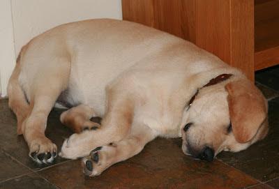 Deep puppy sleeps - it's hard work being a puppy