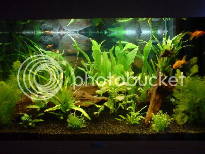 goldfish planted tank. planted goldfish tank.