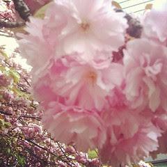 double cherry tree in umeda