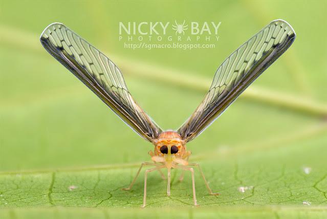 Derbid Planthopper (Derbidae) - DSC_6705
