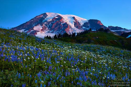 Paradise Wildflower Meadow, Mount Rainier National Park, Washington