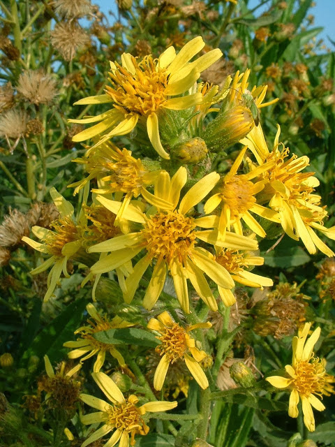 Inula_viscosa_flowers 002
