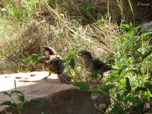 A pair of sparrow