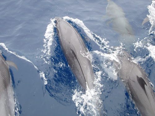 Caribbean Dolphins
