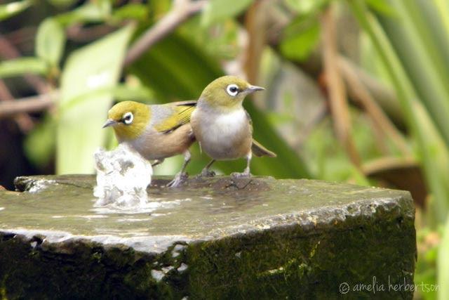 Silvereye birds taking a bath