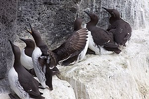 English: Common Guillemots in Reykjanes, Iceland.