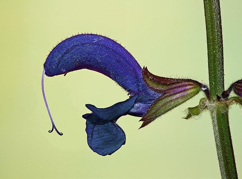 File:Salvia pratensis 006.jpg