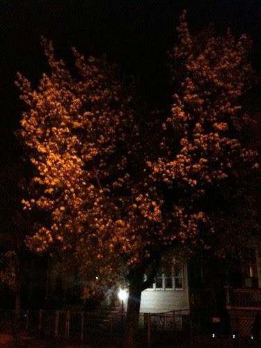 Dogwood at night