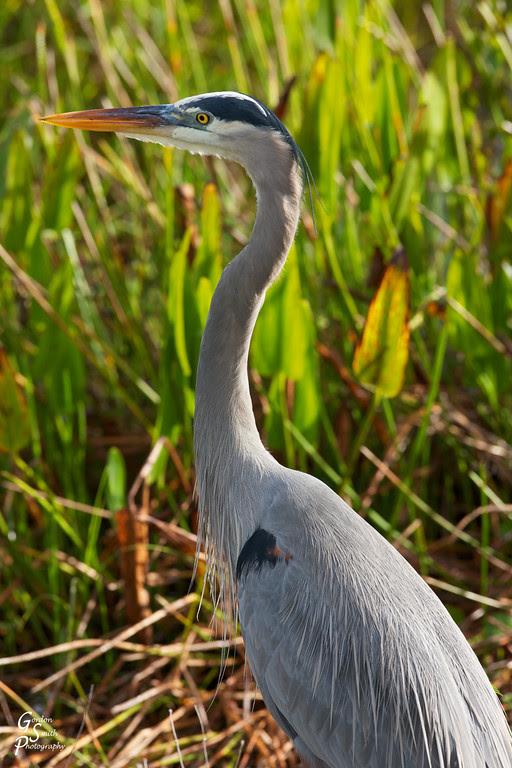 Great blue heron dark form