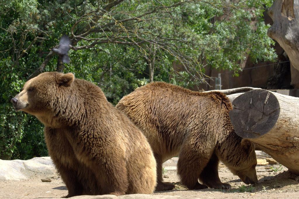 de osos